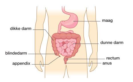 Lage Rugpijn Kan Veroorzaakt Worden Door Darmklachten Dorsoo